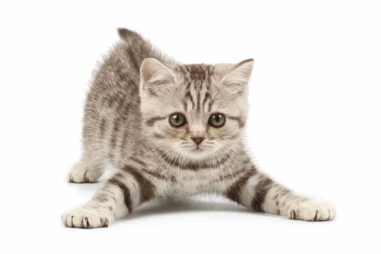 gato al ataque