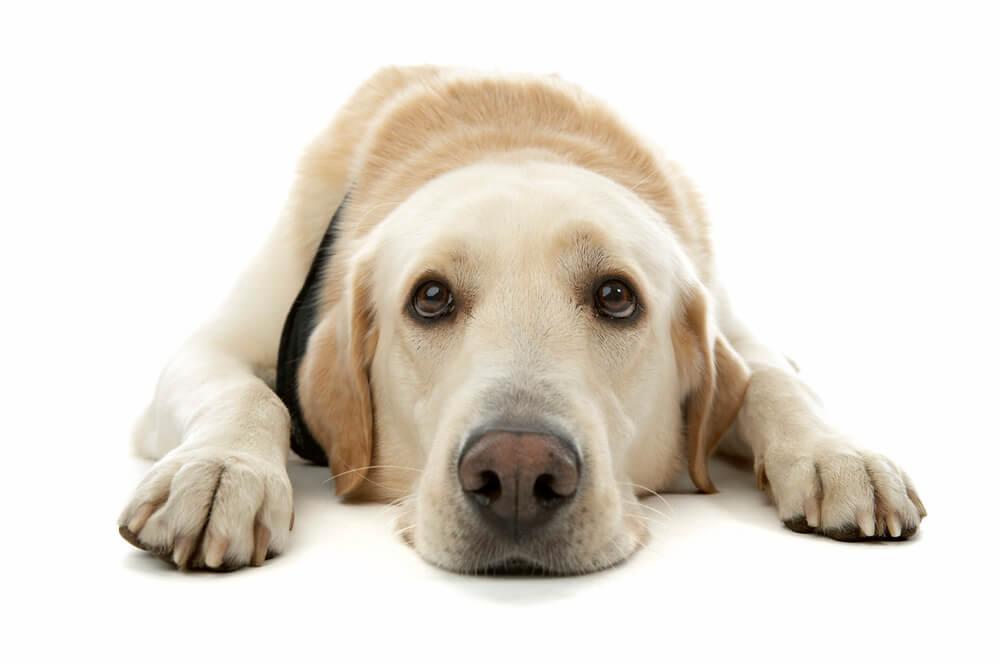 perro sumiso