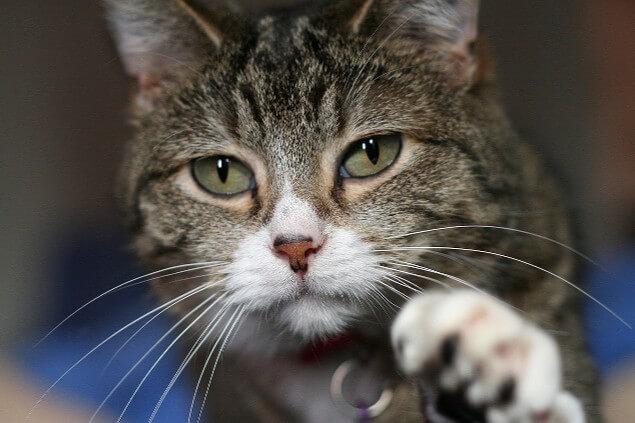 gato amenazante