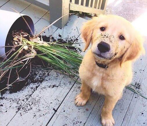 Perro come plantas