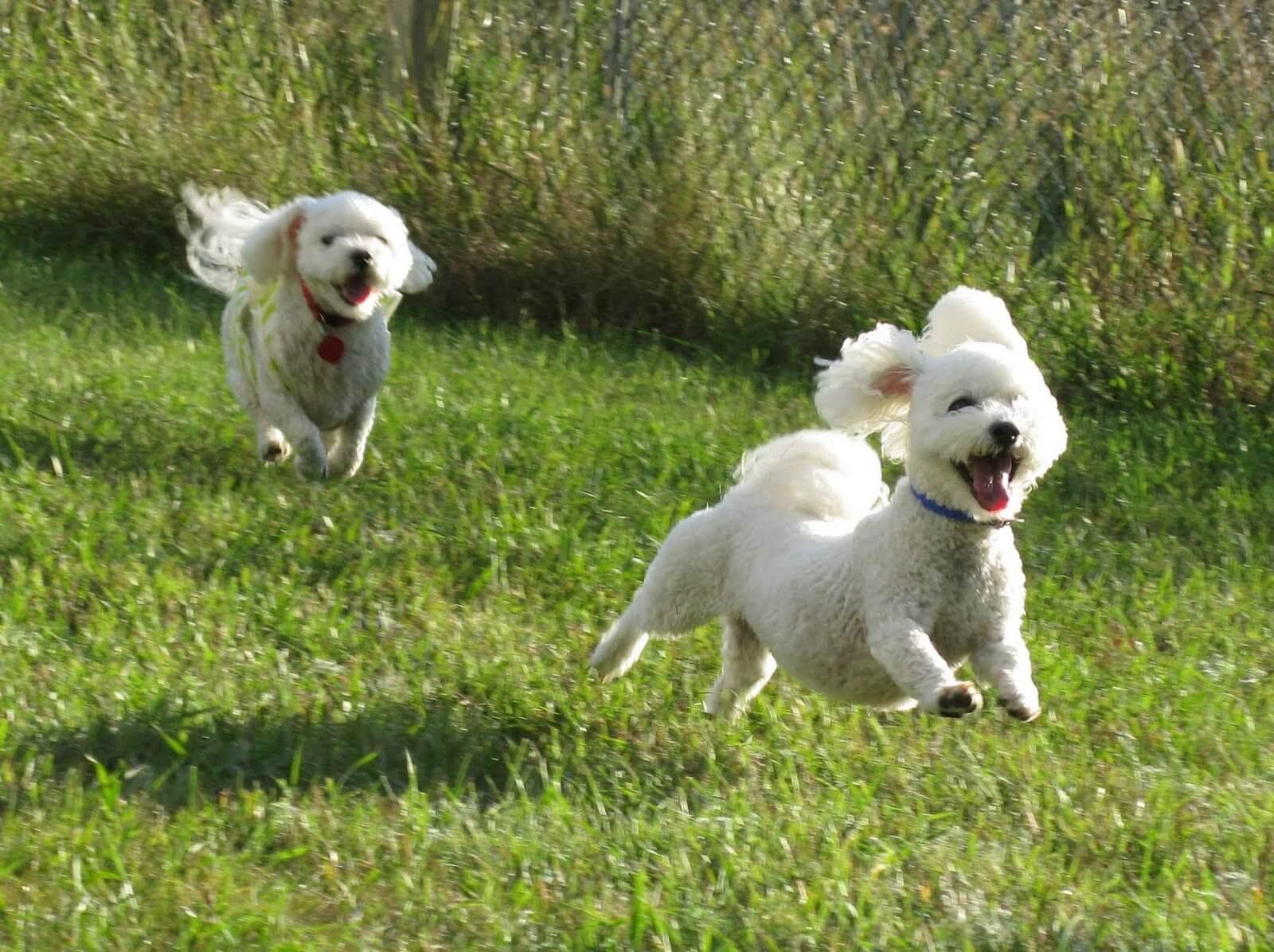 Perros ejercitandose